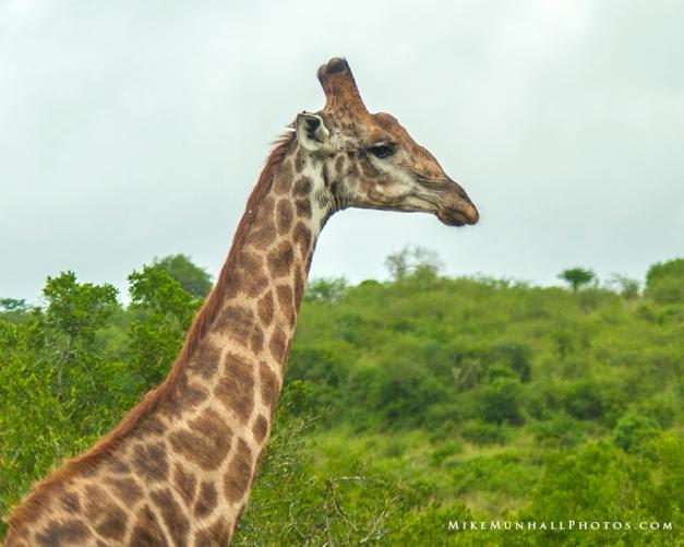 **Giraffe.CNV_1921