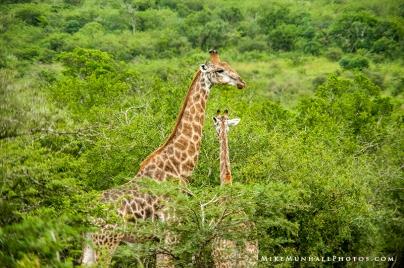**Giraffes.CNV_1894