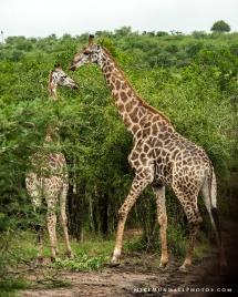 **Giraffes.CNV_1910