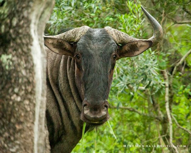 **Wildebeest.CNV_1958