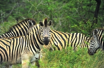 **zebra.CNV_1850