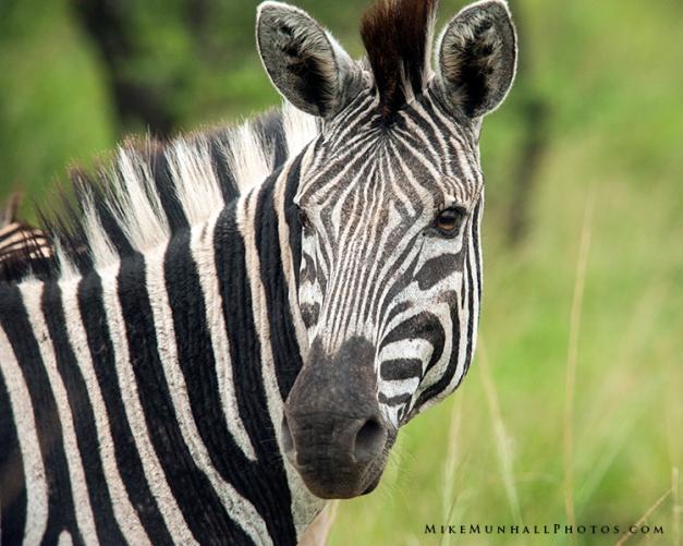 **Zebra.CNV_1876c