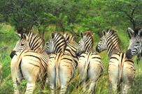 **Zebra.CNV_1883