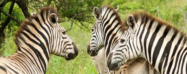**Zebras.CNV_1862