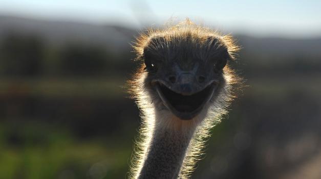 **Ostrich.CNV_2981