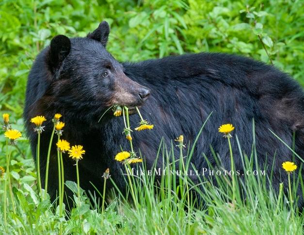 **Bear.CNV_6605